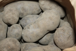 Our All-Blue organic potatoes we will be using for seed this year