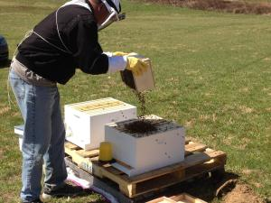 Installing the bees into the hive