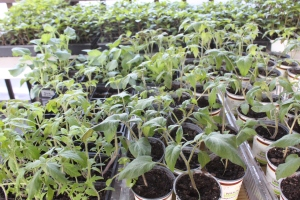 Home grown healthy heirloom tomato and pepper plants -waiting to go into the garden in May