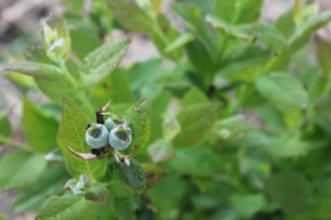 blueberries ripening on our young bushes