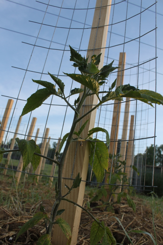 the Brandywine tomatoes are ready to be tied to the  stake a cage supports