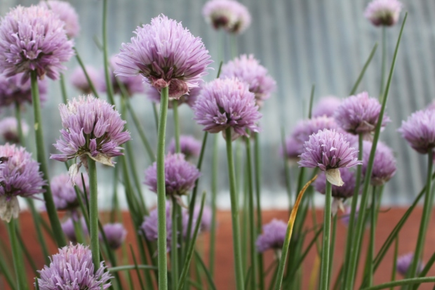 The Chives are in full bloom and a great addition to the herb garden