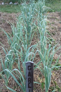 Garlic growing in the early spring