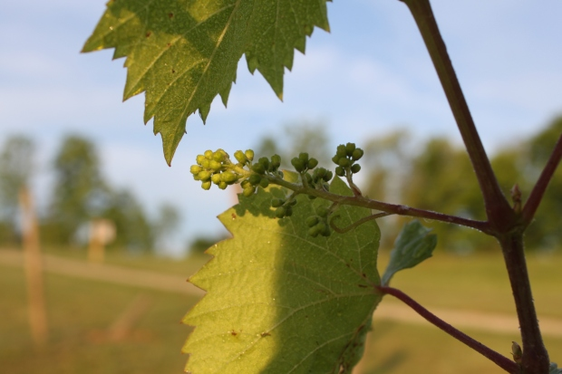 The little clusters of grapes are forming on the vines - this will be our first year to get a few from the vines!