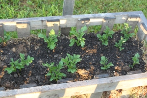 A crop of white potatoes growing in early June
