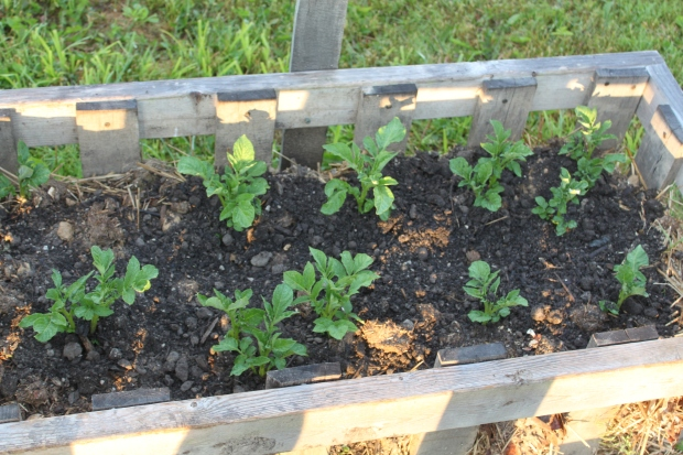 In addition to our potatoes in our rows -we planted a few in our straw bale crates as well.  They are all up and doing well