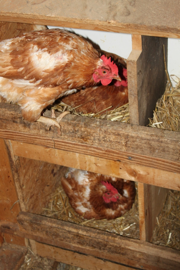 The girls are doing their early morning work of laying eggs - and not too happy about being interrupted for a picture.
