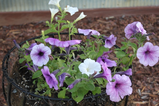 The wave petunias in the front pots are just beginning to take off