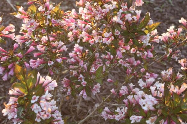 The wegilia bushes are in full bloom