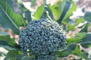 Broccoli heads forming on our plants in the garden