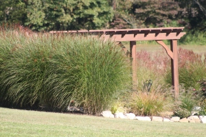 These maiden grasses  that now wrap the back of our upper pergola were all started from small divisions just three years ago.