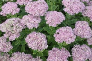 Plants like Sedum add a lot of texture and color to our landscape -and they divide easily.