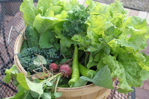 A days harvest from a late June garden - lettuce, broccoli, banana peppers, cucmbers, kale, radishes and more