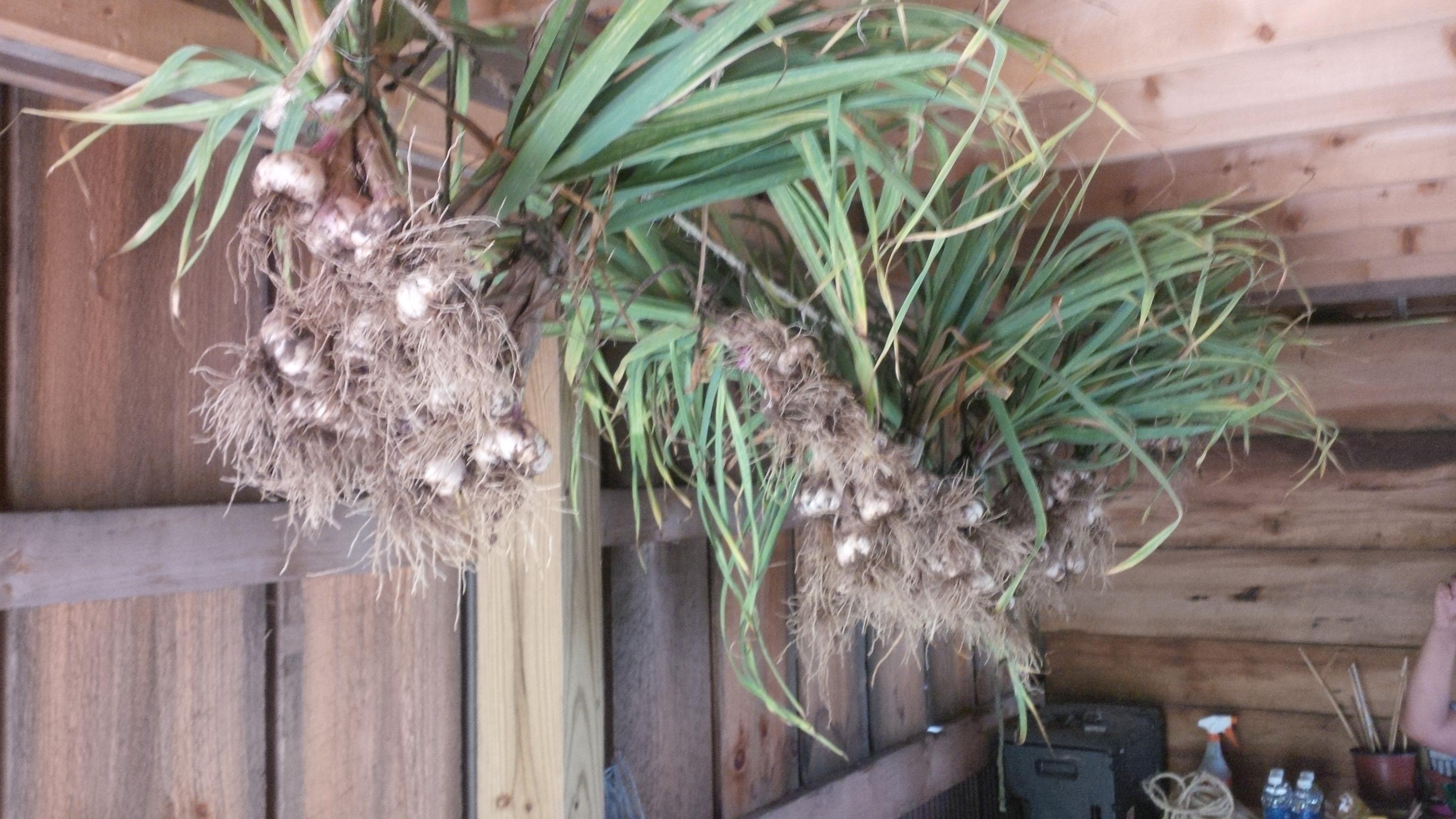 GARLIC! Growing, Harvesting And Storing