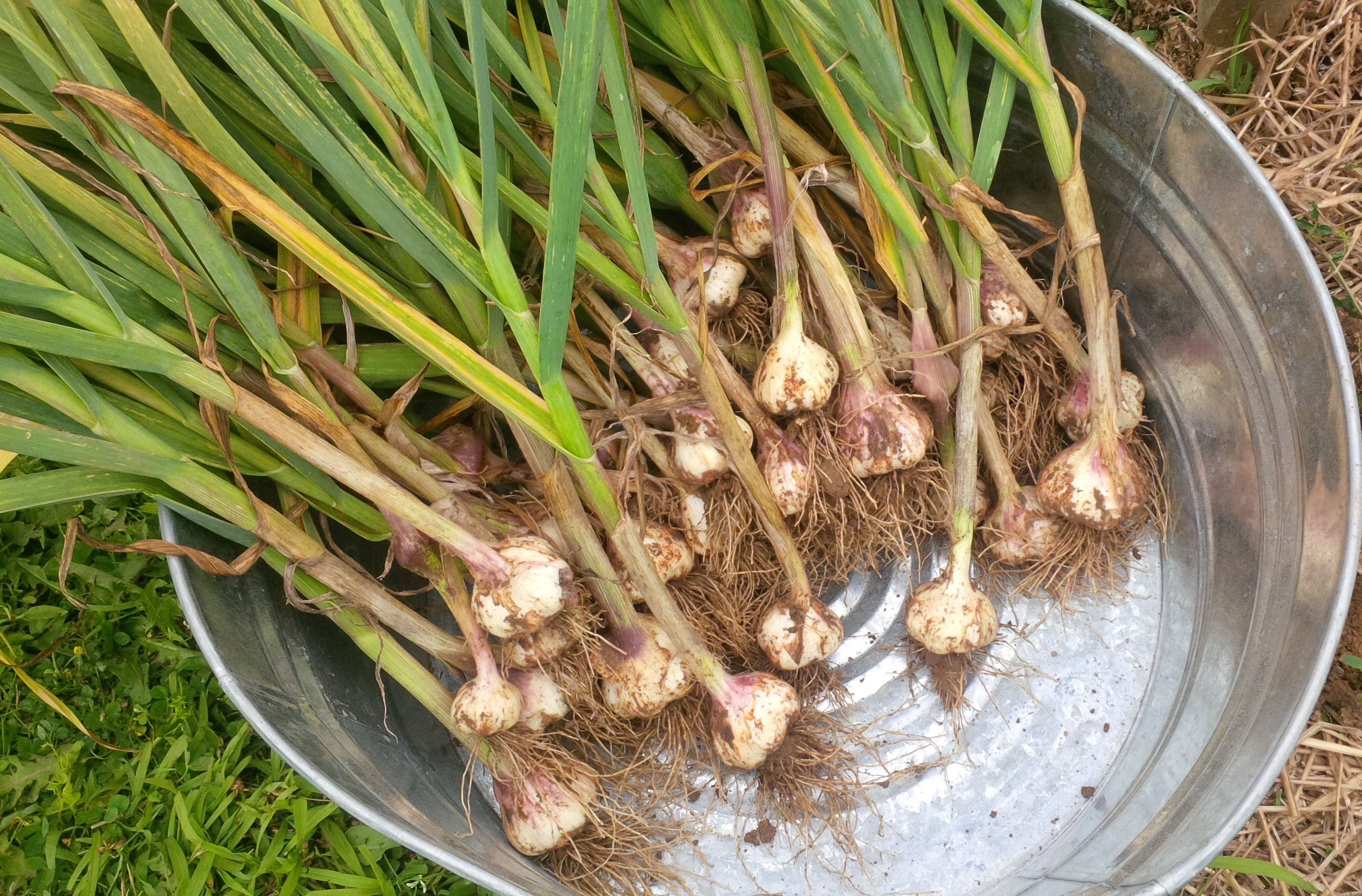 Garlic Growing Harvesting And Storing Old World Garden Farms