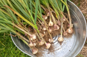 We had a big harvest of garlic this year - and kept out the biggest bulbs to use as seed this fall