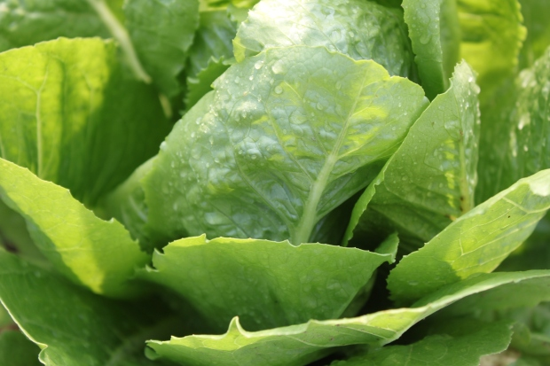 Romaine lettuce awaits harvest from the garden, fresh with the morning dew