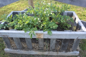 The potatoes growing in our small crates last year