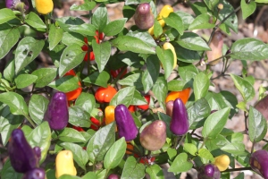 Chinese Five Color peppers growing in the landscape