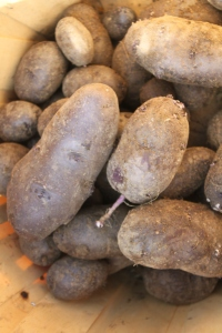 The purple potato harvest from the crates - big and bountiful!