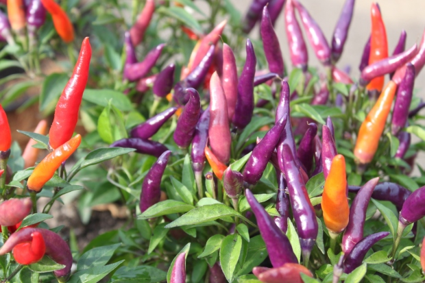 The beautiful colors of the sangria ornamental peppers