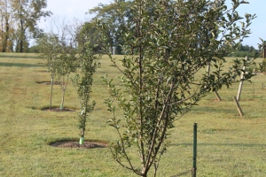 Apple and Cherry trees growing on our mini orchard