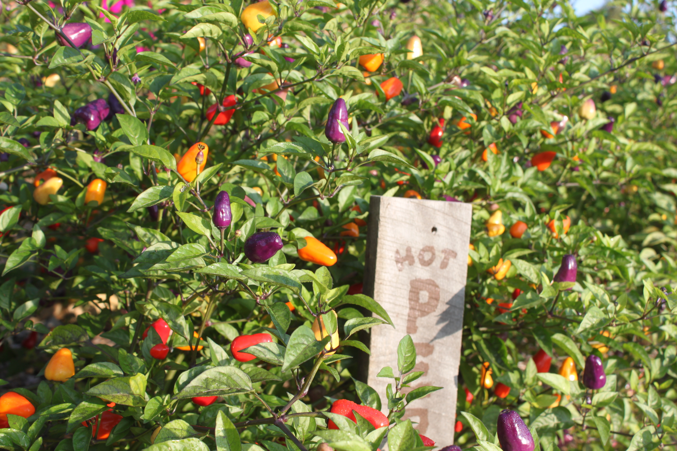 6 fantastic ornamental pepper plants to grow this year - Planting pepper garden ...