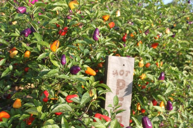 The Chinese five-color peppers.  We absolutely love these plants in the landscape!  They turn all shades of beautiful colors all season long