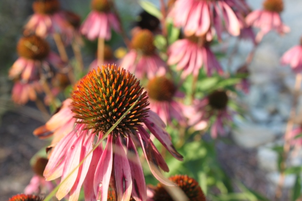 The last of the coneflower blooms are beginning to fade