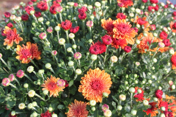 The mums have begun to show off their beautiful blooms