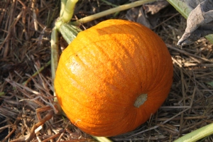 The last of our pie pumpkins from this year's crop. Soon to be Pumpkin Pie!