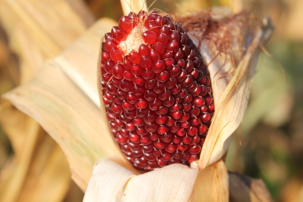 The strawberry popcorn drying on the stalks