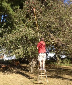 Jim on a ladder picking apples with a hoe used as the extender so we could reach way up high.