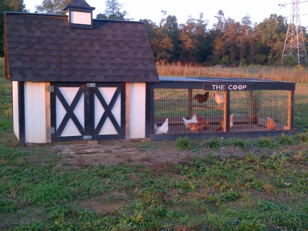 "May 2011 - The first coop is up at the farm - and our first flock of ""girls"" are checking out their new home"