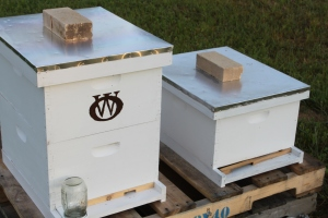 The hive entrances will be reduced to a single 3/4 inch opening for winter - like the one on the left  hive.