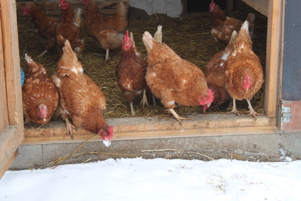 The Chickens are not very interested at all in leaving the comfort of their coop for the snowy grass