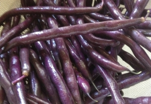The beauty of purple green beans
