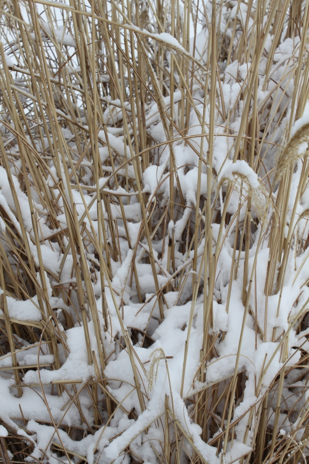 Snow on Grasses