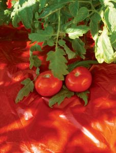 "Red Plastic ""mulch"" is reported to make for larger tomato harvests. (Photo courtesy of Gardeners Supply Company)"