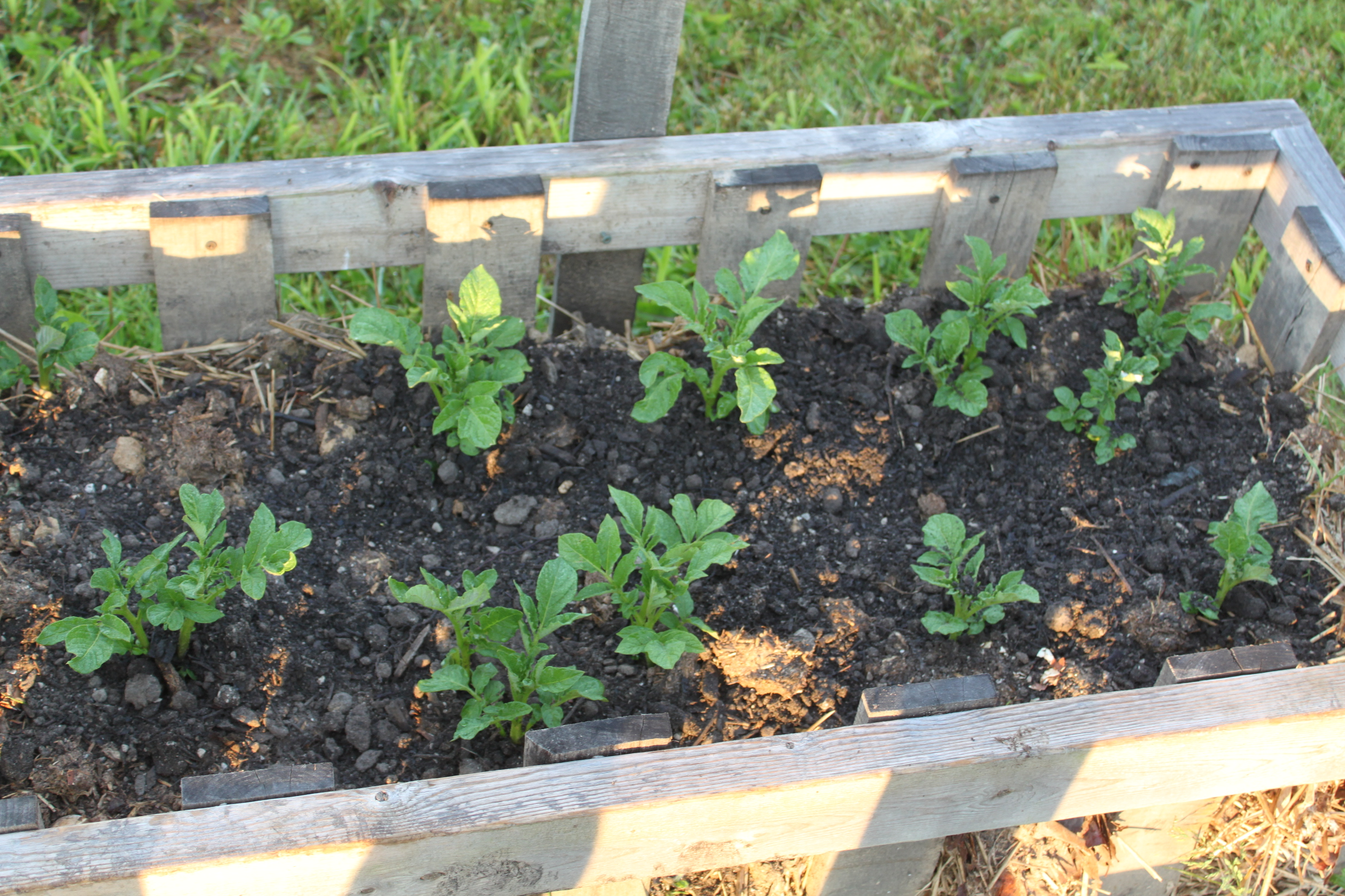 Growing Potatoes With Homemade Potato Crates