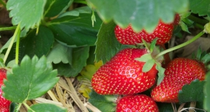 Our strawberries grew well - but so did the weeds without any fabric down