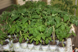 Our homegrown tomato plants are getting big - and ready to go in the garden!