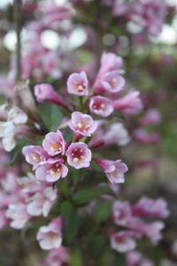 The Weigela bushes are in full bloom at the farm