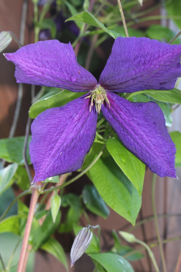 The clematis has started to bloom as well - growing now up and through the upper pergola
