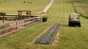 Our newest addition to the farm - a 50' long double row of strawberries