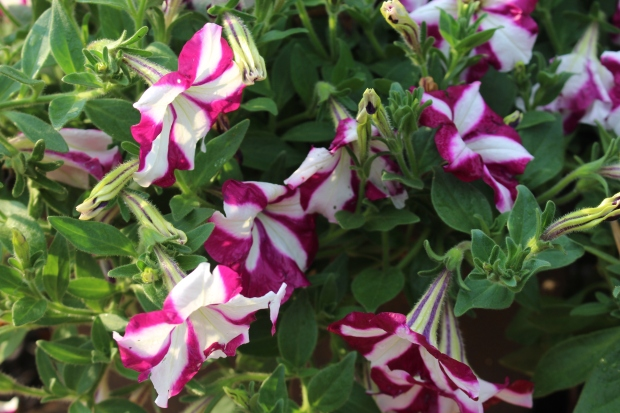 The wave petunia baskets are now in full bloom!