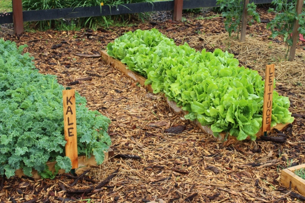 The new raised beds have worked wonders for our smaller seeds crops - our lettuce and kale beds are providing us plenty of fresh greens