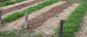 cover crop rows